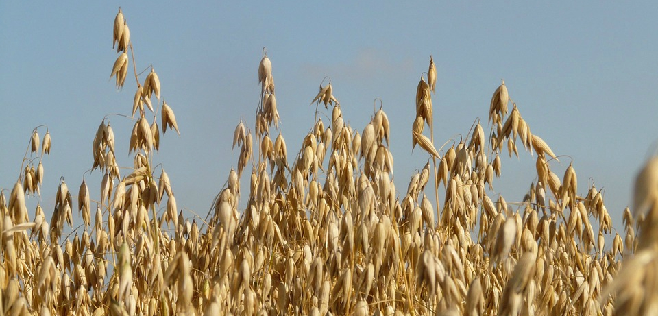 Naked Oats - Superioats | GB Seeds division of Agrii