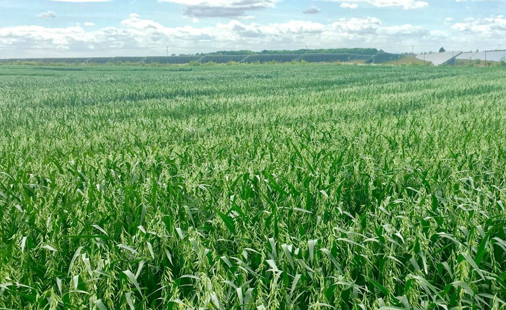 Naked oats expanding market opportunities - GB Seeds