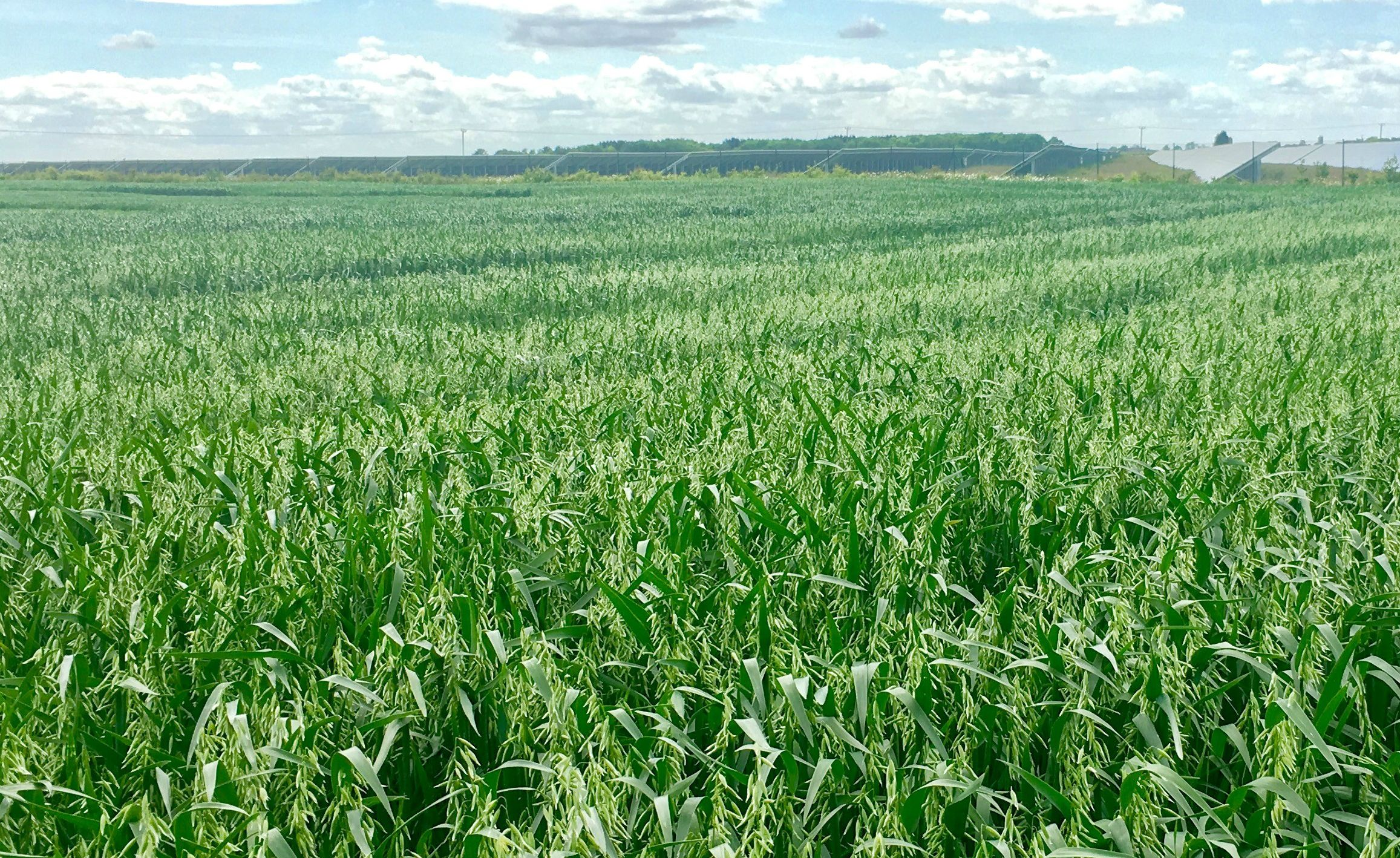Weed Suppression and Tolerance in Winter Oats - GB Seeds